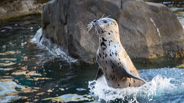 Tongass, an 8-year-old harbor seal who recently arrived at the Oregon Zoo, leaps from the water at the zoo's Steller Cove habitat.