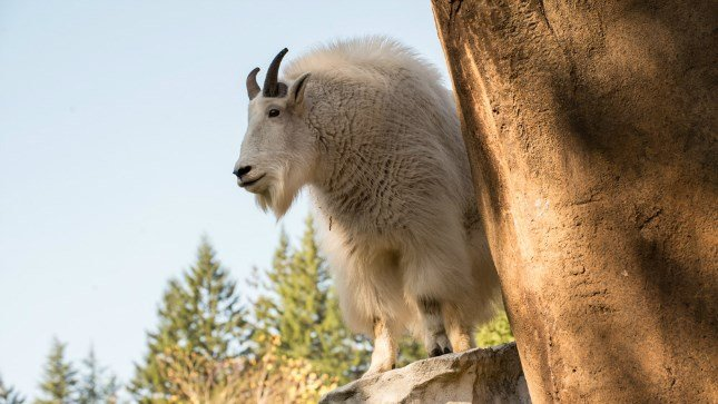 Honovi, a 5-year-old mountain goat who recently arrived at the Oregon Zoo, has joined Montane at the Cascade Crest habitat.