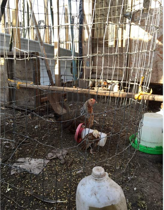 Evidence of cockfighting operation discovered during meth trafficking investigation (Photo: Washington County Sheriff's Office)