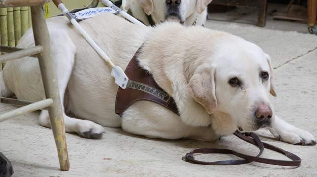 Missing School of Piano Technology for the Blind guide dog, Beethoven