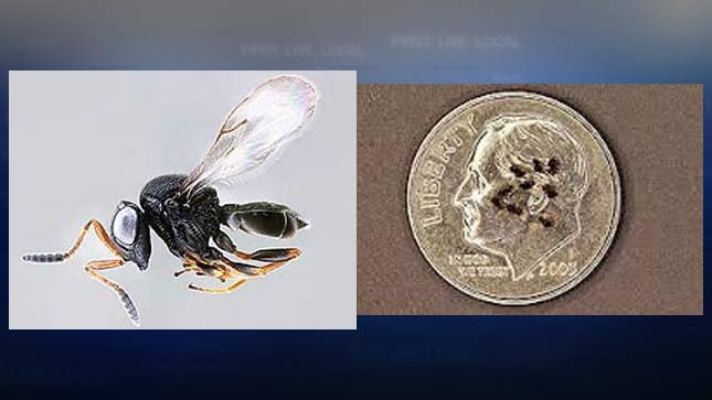 The tiny wasps that kill stink bugs are only the size of a typed comma. (Photos courtesy of the USDA)