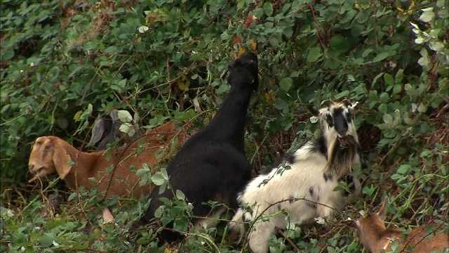 File image: Officials use goats to remove plants at senior living facility in Portland. A similar tactic will be used in Vancouver.