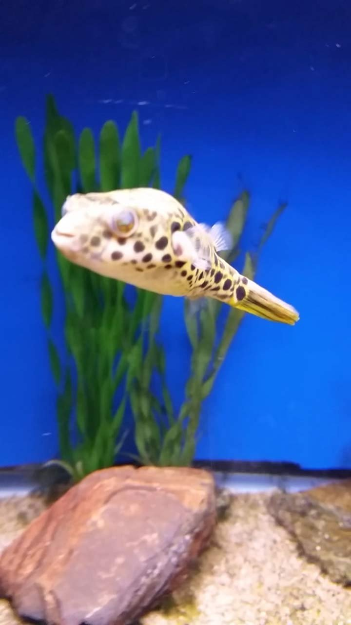 Stolen puffer fish
