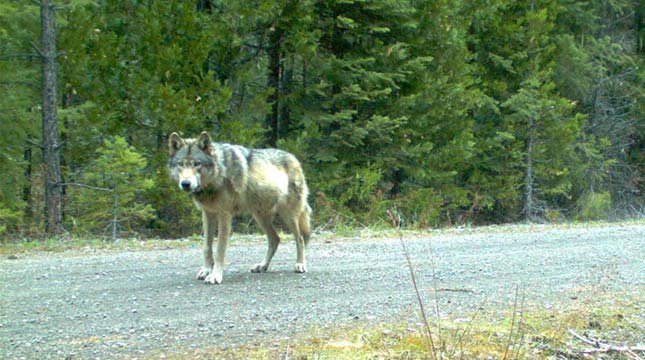 Remote camera photo of wandering wolf OR-7, a member of the Rogue Pack, taken on 5/3/2014 in eastern Jackson County on USFS land. Photo courtesy of USFWS.