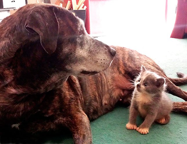 In this Oct. 18, 2015 photo provided by Angel Carpenter, Atilla, a 7-year-old lab and pit bull mix hangs out with kitten Jack, at their Mt. Vernon, Ore., home.