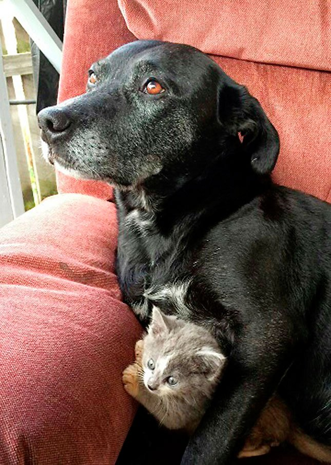 In this Oct. 18, 2015 photo provided by Tiffany Hull, Chaos, an 8-year-old kelpie mix dog, cuddles with kitten Jack, at their Mt. Vernon, Ore., home.