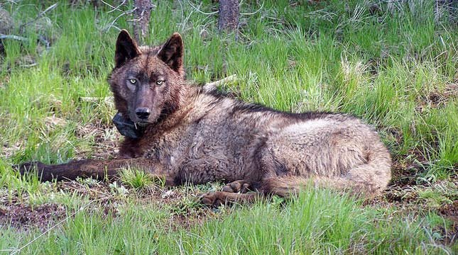 OR25 after being radio-collared on May 20, 2014. (Photo by Oregon Department of Fish and Wildlife)