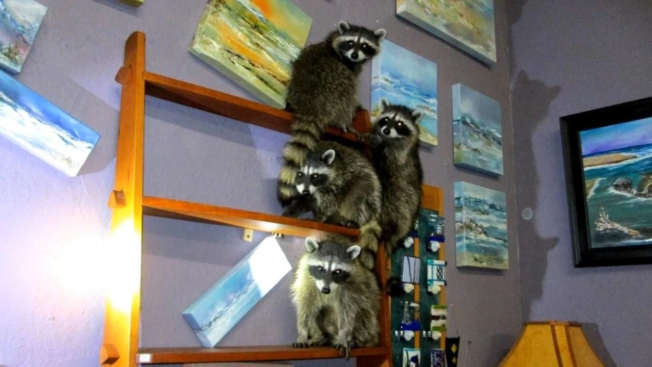 raccoons ransack newport art gallery kptv fox 12