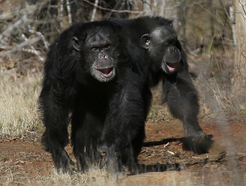 This Feb. 19, 2013 file photo shows two chimps walking together at Chimp Haven in Keithville, La. The NIH is sending its last remaining research chimpanzees into retirement. (AP photo/Gerald Herbert)