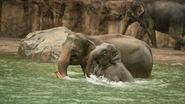 Lily and her mom, Rose-Tu, enjoy a swim Saturday in the Oregon Zoo's new 160,000-gallon pool for pachyderms. (Photo courtesy: Oregon Zoo)