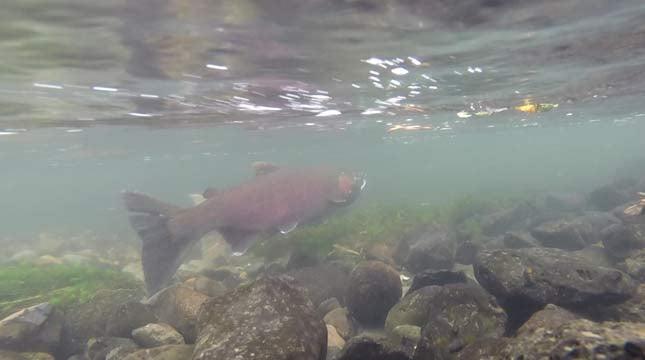 Salmon file image
