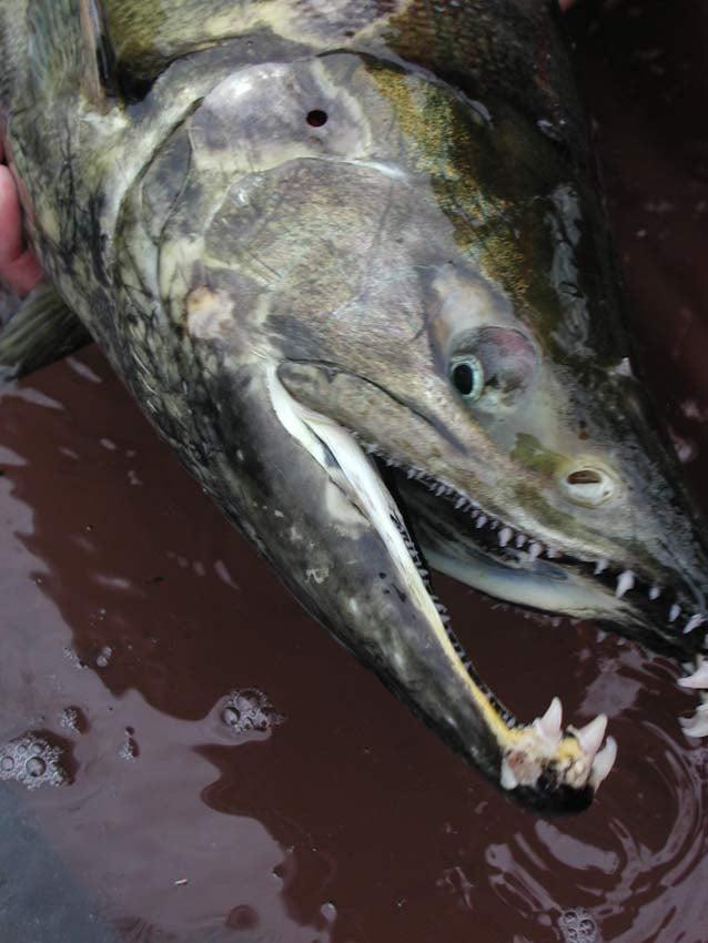 Chum salmon (Photo: Bonneville Power Administration)