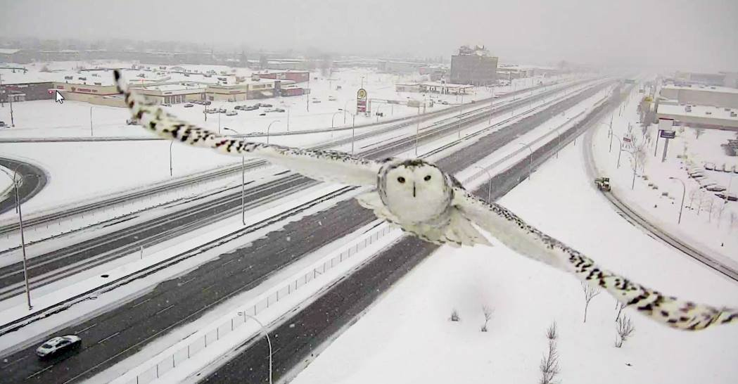 Canadian traffic camera captures images of snowy owl