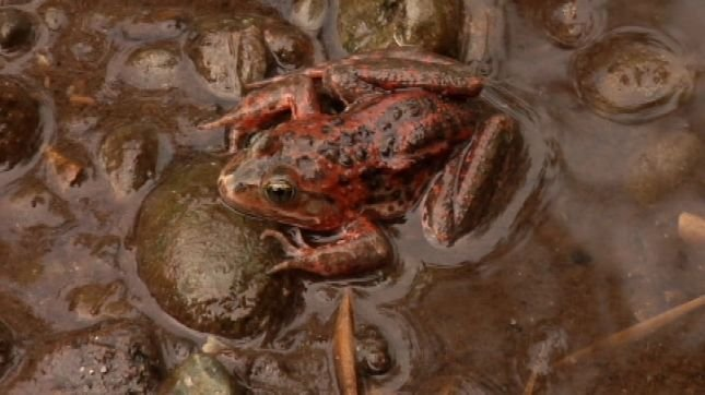 Spotted frog, file image