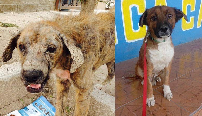 Before and after photos of rescued dog coming to Oregon to find a new home. (Photos: Oregon Dog Rescue)