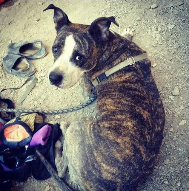 Photo of missing 4-year-old brindle pit bull named Jenny that ran away from deadly crash scene near Moses Lake, Washington.