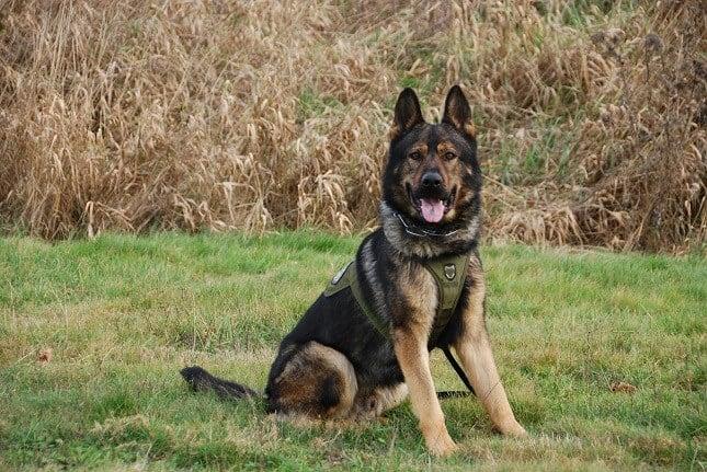 K9 Deputy Ringo