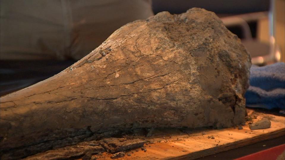 One of the bones found beneath OSU's football field (Photo: KPTV)