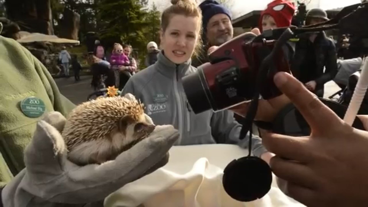 Oregon Zoo's hedgehog Velda did not see a shadow Tuesday, signaling an early spring.