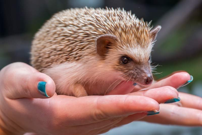 Tuesday was the forecasting debut for Velda, one of five hedgehogs born at the zoo in 2014.  (Photo: Oregon Zoo)