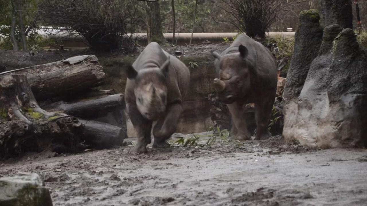 Oregon Zoo's endangered black rhinos Zuri and Ruka (Photo: Oregon Zoo)
