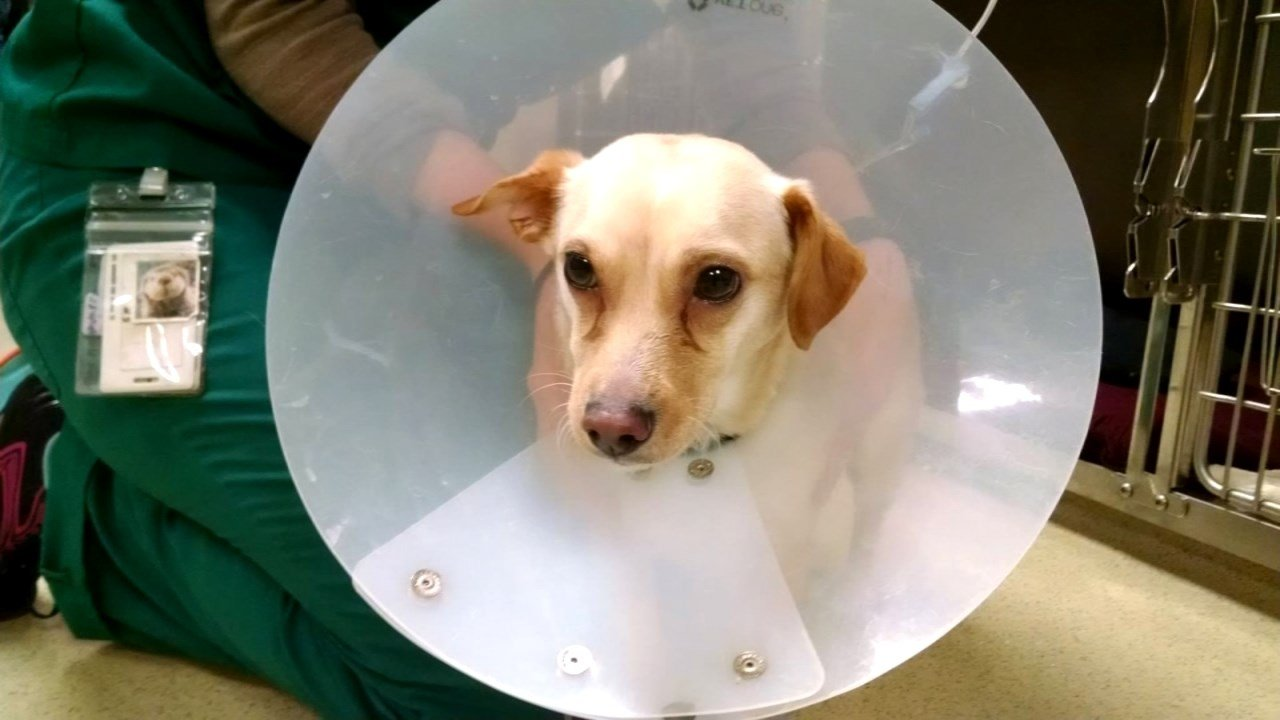 Ellie, a 2-year-old Chihuahua mix (Photo: DoveLewis Emergency Animal Hospital)