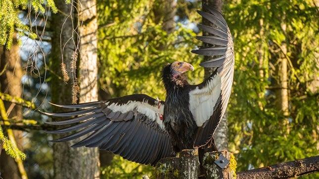 A California condor suns its wings at the Oregon Zoo's Condors of the Columbia habitat. (Courtesy: Oregon Zoo)