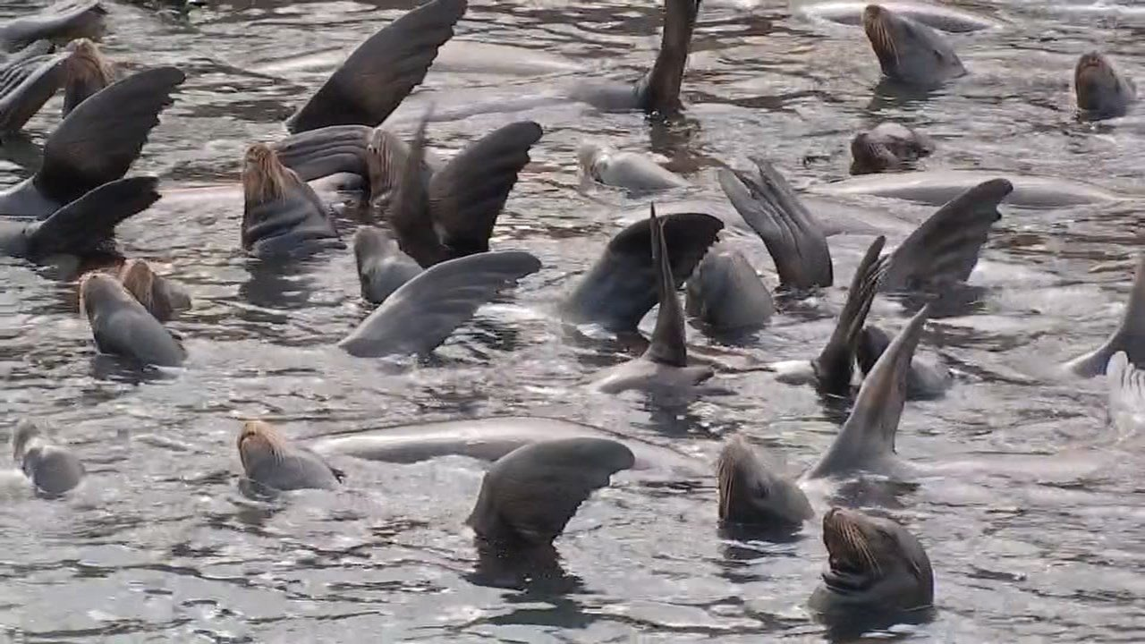 Sea lions began showing up about four weeks ago in the Cowlitz River because of the smelt. (KPTV)