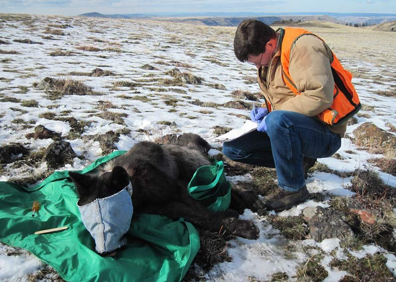 An ODFW biologist in the process of collaring wolf OR-33 in February 2015. Larger wild animals are typically blindfolded while immobilized to protect eyes and to help calm them. (Photo: Oregon Department of Fish and Wildlife)