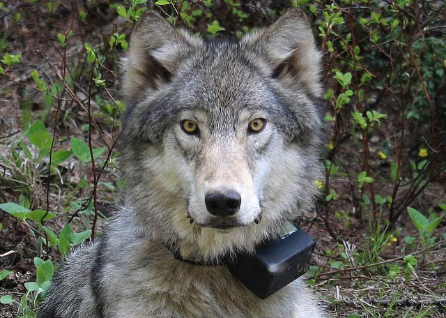 A 72-pound female wolf of the Minam Pack, after being radio-collared in 2014. (Photo: Oregon Department of Fish and Wildlife)