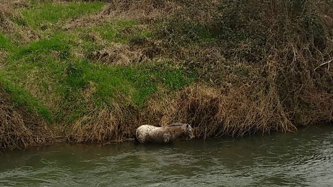 Crews from Monitor Rural Fire District #58 say the horse in the Pudding River is not in distriss but is still in 3 to 4 feet of water. (Monitor Rural Fire District #58)